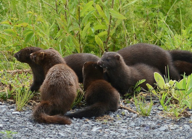 Difference Between Mink and Weasel - DifferenceBetween.com