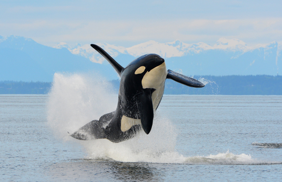 Flying Killer Whale
