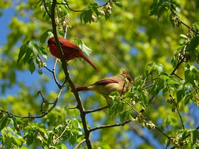 Cardinal couple in a tree. Toronto, ON