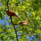 Cardinal couple in a tree.