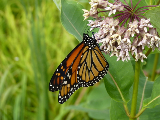 Another Beautiful Monarch