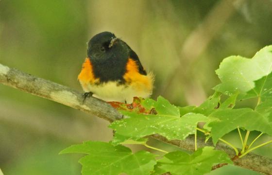 warbler   Male American  Redstart