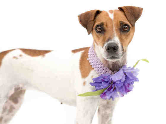 Suki, 2YO small terrier, adorable girl JRT?