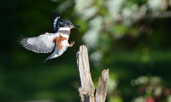 Kingfisher landing / Atterissage