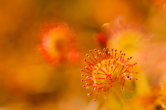 Tiny Sundew