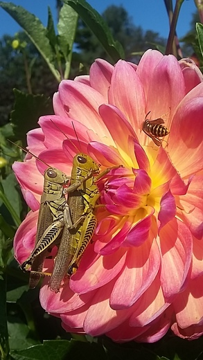 Bugs in the Dahlias