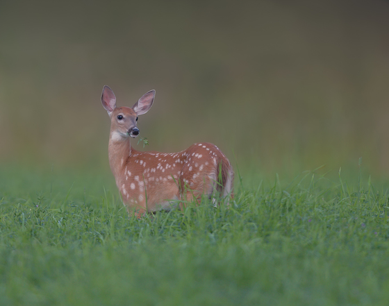 Fawn in the Clover Patch