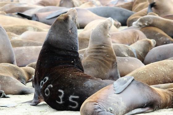 Sea Lion 8635