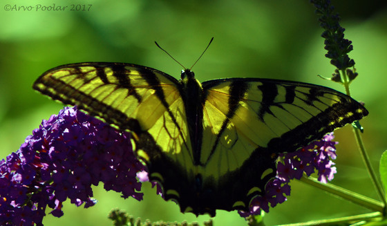 Yellow Tiger Swallowtail.