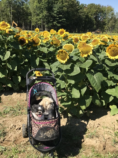 Shihtzus and sunflowers