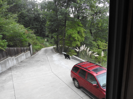 Bear on our driveway, Wednesday a.m., Paris Mt.