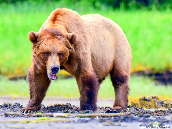 One Tough Male Grizzly