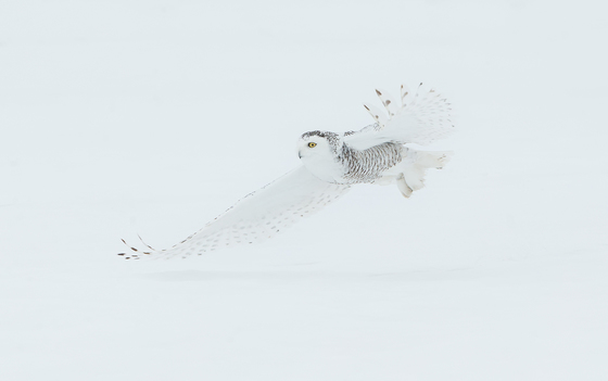 Snowy Owl Female