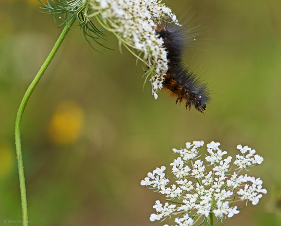 Woolly Bear..