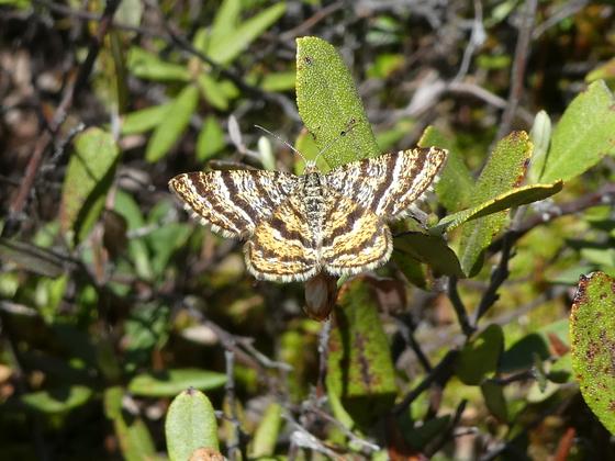 A Bog Moth