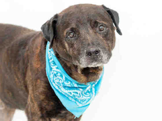 Brownie, senior labbie, healthy, confiscated from his home, now overlooked