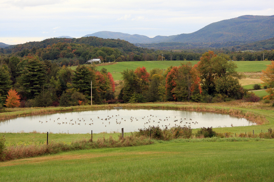 98 Geese on the Pond