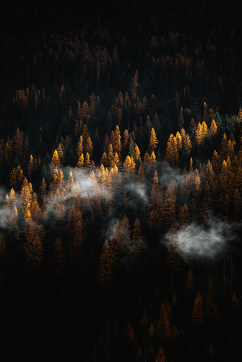 Larches in the light