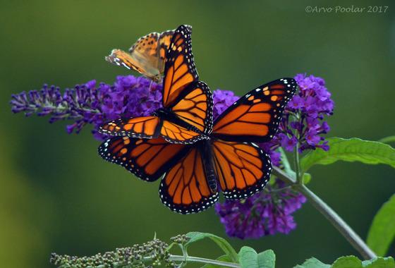 Monaarch Butterflies
