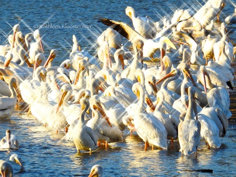 Pelicans in the late afternoon sun