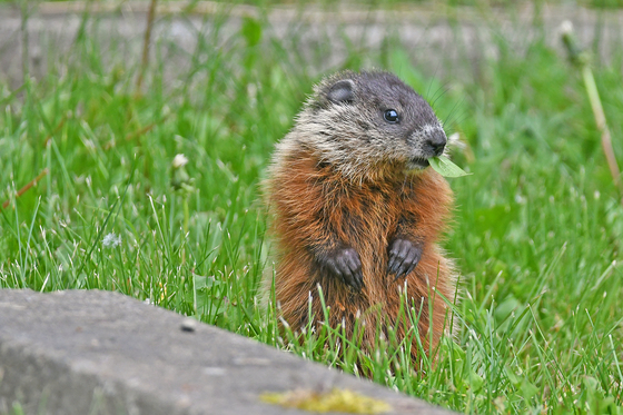 Woodchuck or Groundhog