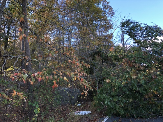 Downed tree on Canton Street