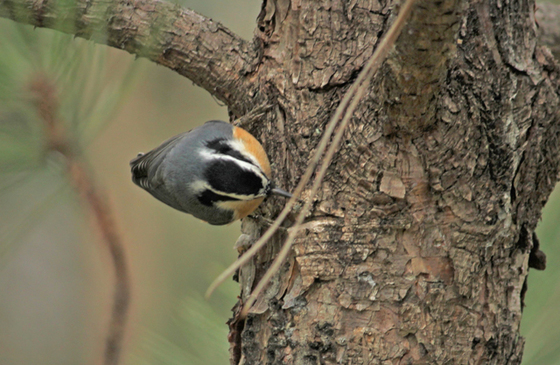 Red Brested Nuthatch