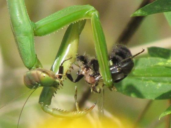 Mantis Meal