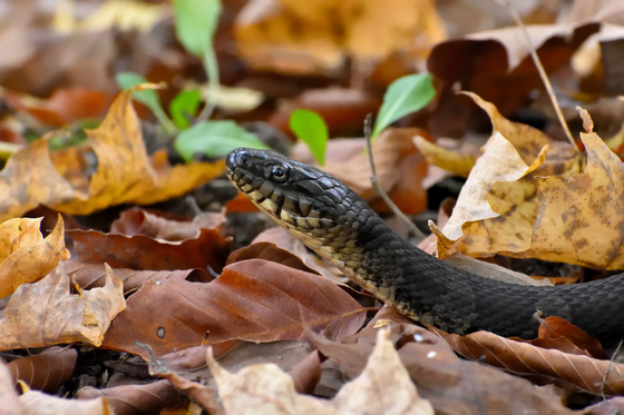Wildlife Category Winner - Snake Eye