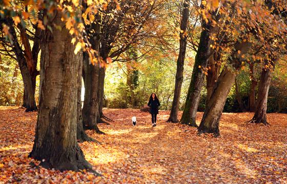 Walking among Maples