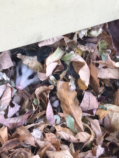 Playing opossum in fall leaves.