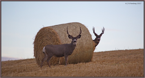 Muley Bucks hanging out
