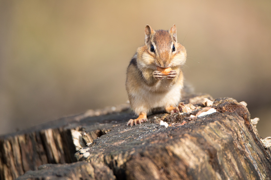 Chipmunk filling his cheeks!