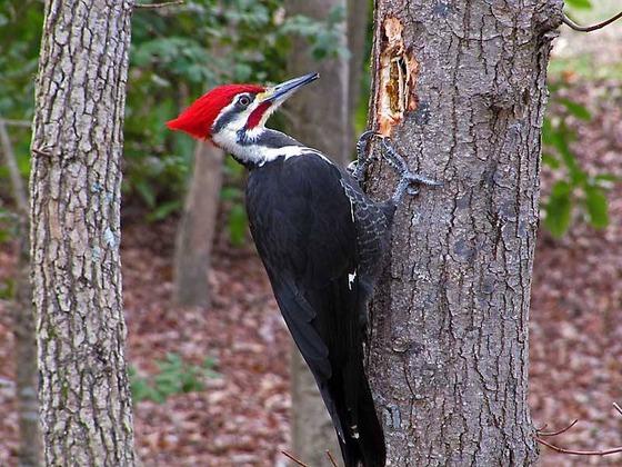 Wood Pecker in the wild