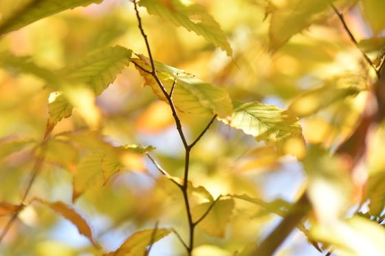 Beechnut Tree
