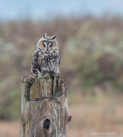 Long Eared Owl on a stump