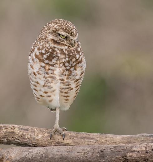 Grumpy Burrowing Owl