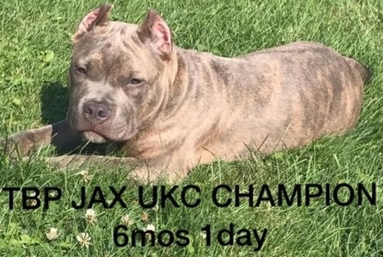 Pittsburgh's Youngest Champion American Bully