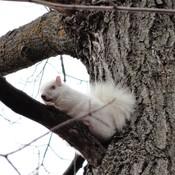 Blanc l'Écureuil !!!
