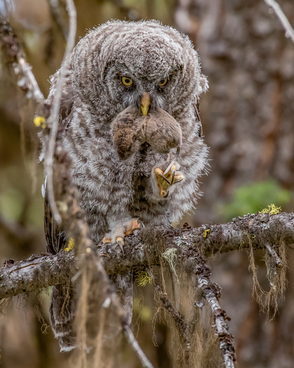 Great Grey Owl with Prey