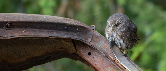 Unique Northern Pygmy Owl