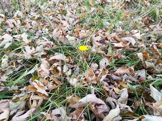 Dandelion in December!