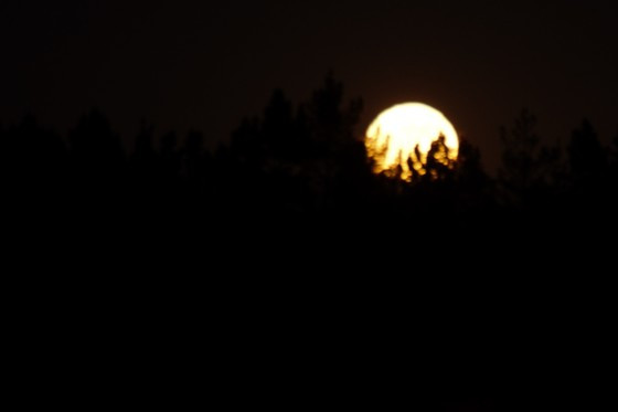 Moonrise through the pines