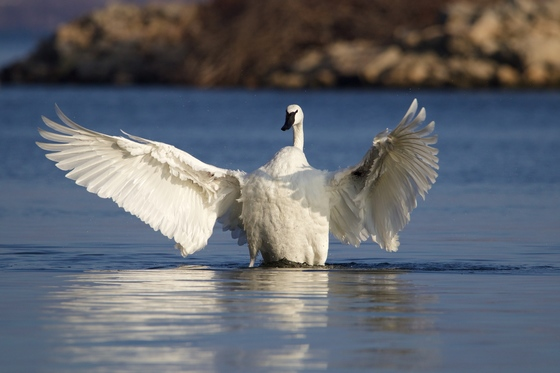 Greatest waterfowl wingspan
