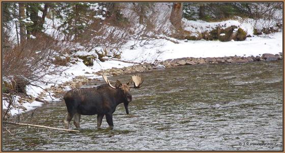 Bull Moose crossing some water