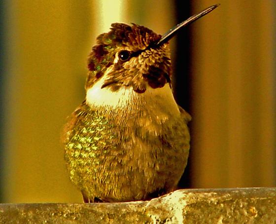 LATE AUTUMN HUMMINGBIRD VISITOR