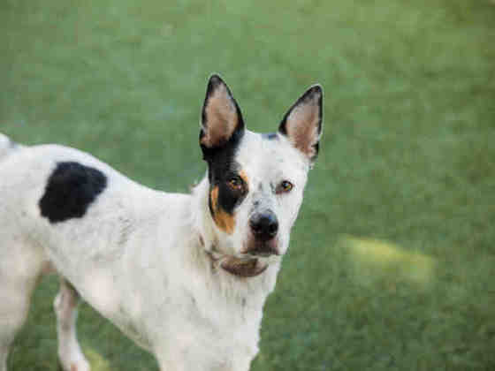 Blue, handsome Cattle Dog, needs rescue
