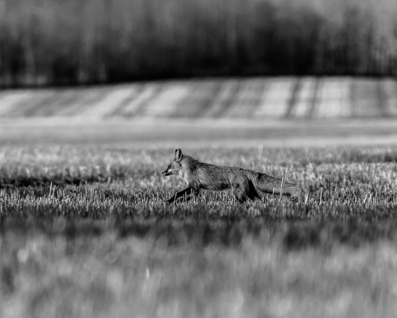 Red Fox In The Open