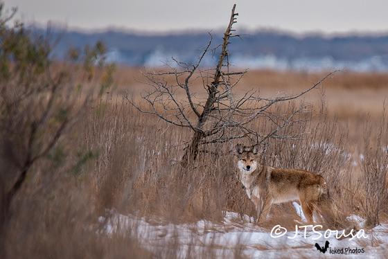 Cape Cod Coyote
