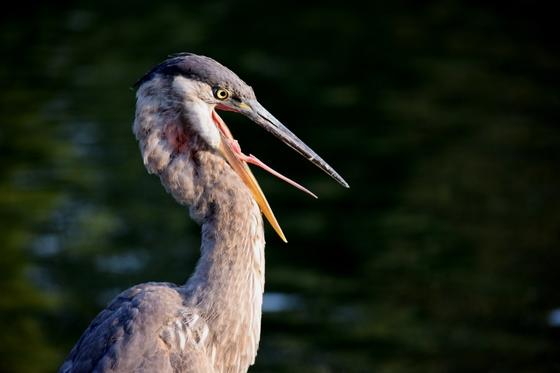 5b. Heron yawning